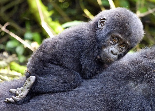 Stunning Bwindi Impenetrable Forest Safari's