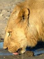 Safari Holidays - Lions one of the Big Five