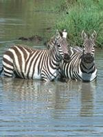 Safari Holidays - Zebras