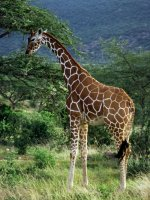 Giraffe Safari Holiday