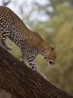 Leopard Safari Holiday